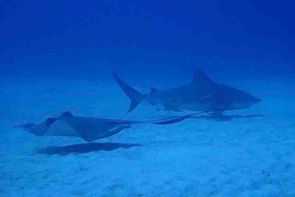 Scuba diving in Playa del Carmen - Bull Shark and Ray