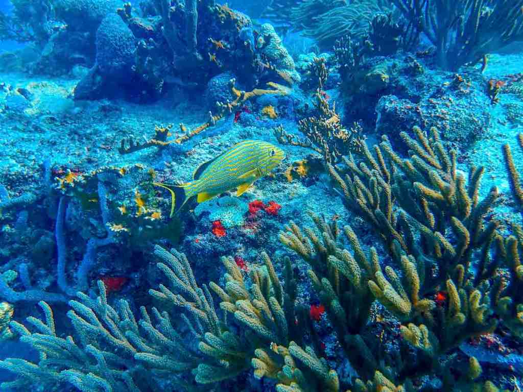 Scuba diving in Playa del Carmen - Fish and Corals