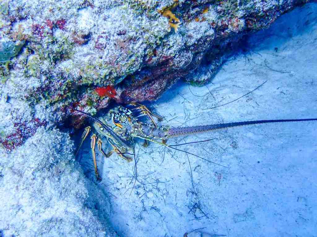 Scuba diving in Playa del Carmen - Lobster