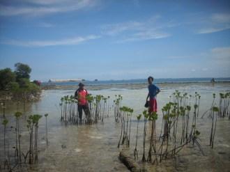 menanam mangrove09