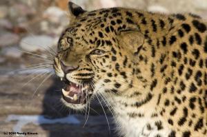 Amur Leopard Growl