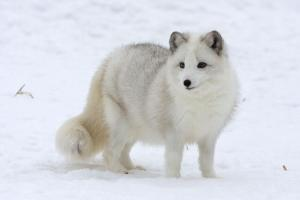 An Arctic Fox in the Snow