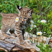 Baby Bobcat TripleD