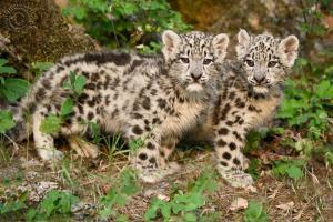 Twin Snow Leopard Kittens