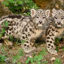 Twin Snow Leopard Kittens