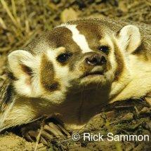 Badger - TripleD