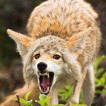 Coyote Snarling