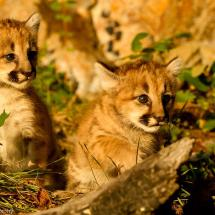 Double Trouble Lion Kits