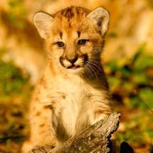 Lion Kitten
