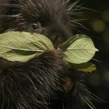 Masked Porcupine