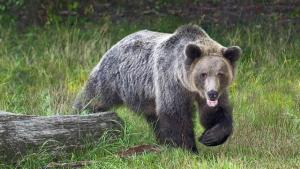 Adult Male Grizzly Bear