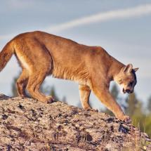 Mountain Lion ~ TrilpeD
