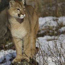 Mountain Lion TripleD