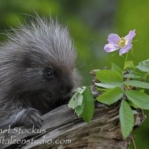 Porcupine and Flower