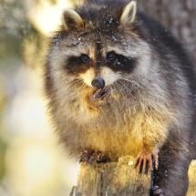 Raccoon TripleD
