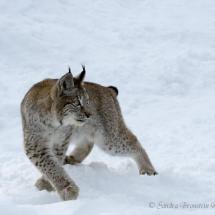 Siberian Lynx in Snow