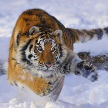 Siberian Tiger - TripleD