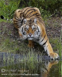 Siberian Tiger at the Waters Edge.