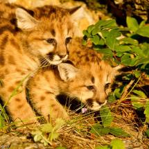 Twin Mountain Lion Kittens