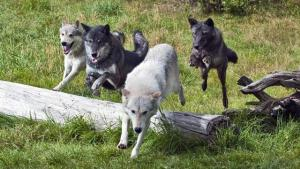 Running Pack of Wolves - TripleD Wildlife and Game Farm
