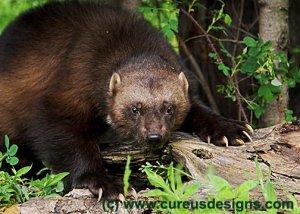 Adult Wolverine in it's Natural Habitat