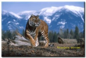 """Siberian Tiger Photographed at the Triple """"D"""""""