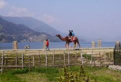 A Camel ? In Pokhara? WTF?