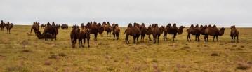 Camel Crossing