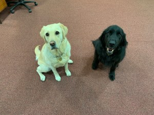 Mercer an Toffee the Guide dogs posing for the camera