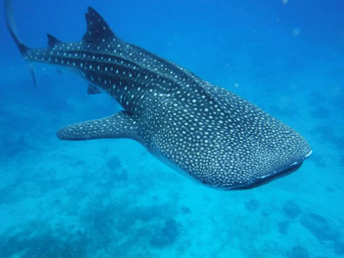 奧斯陸-與鯨鯊共舞,oslob,Whale Shark