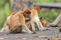 TripLovers_Malaysia_Sandakan_159_LabukBayProboscis