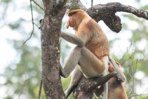 TripLovers_Malaysia_Sandakan_173_LabukBayProboscis