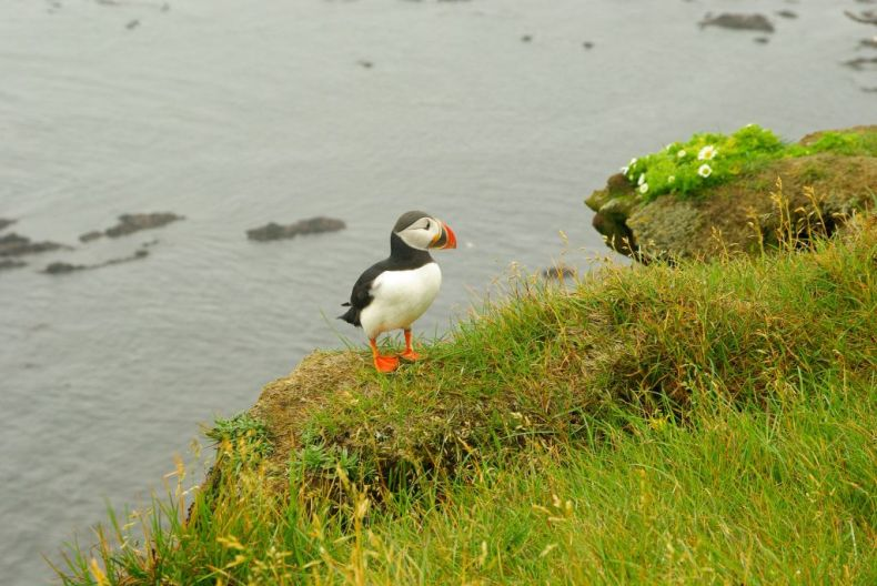 Puffin in nature, Iceland Bird