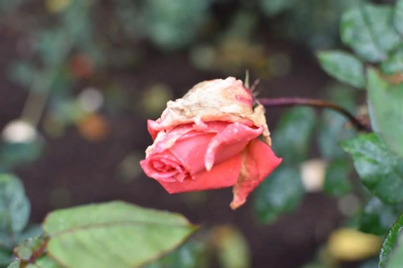 Rose Garden Ooty 21
