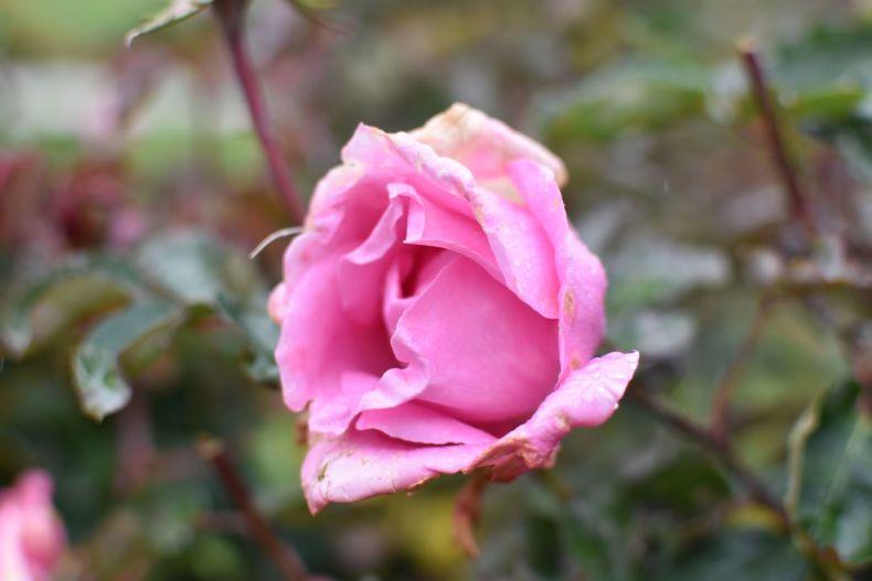 Rose Garden Ooty 27