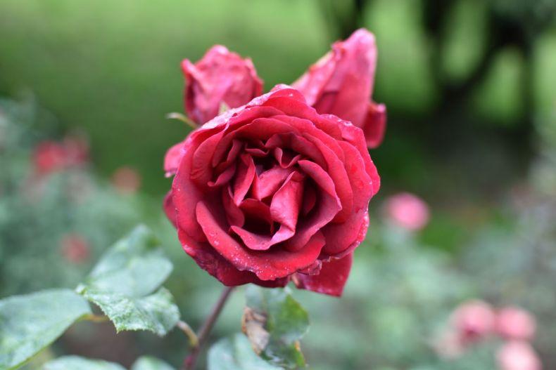 Rose Garden Ooty 8