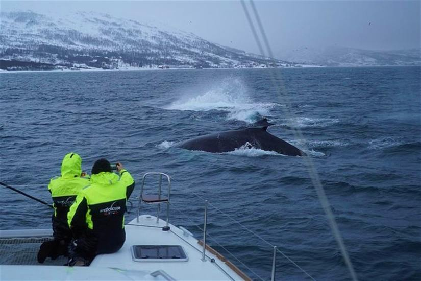 Whale Watching in Tromsø