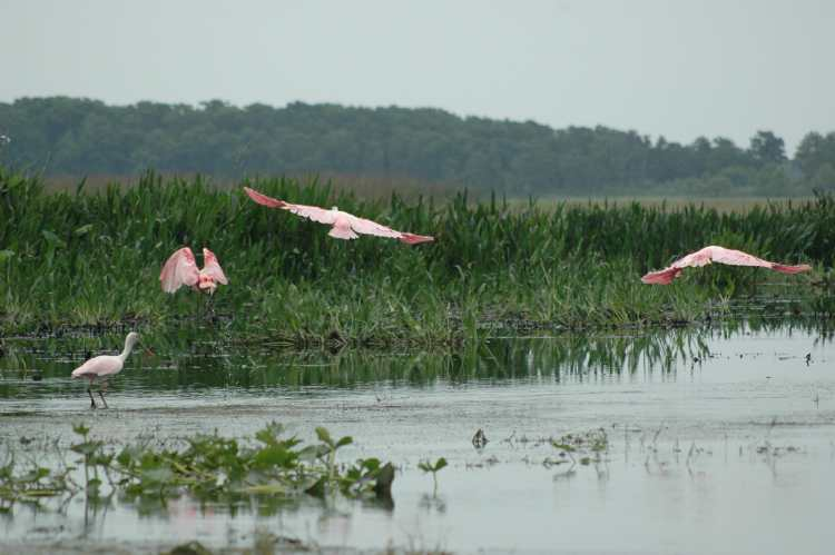 Roseate Spoonbills taking off in Everglades