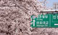 Cherry Blossoms at the 2011 Yeouido Cherry Blossom Festival in Seoul, South Korea.