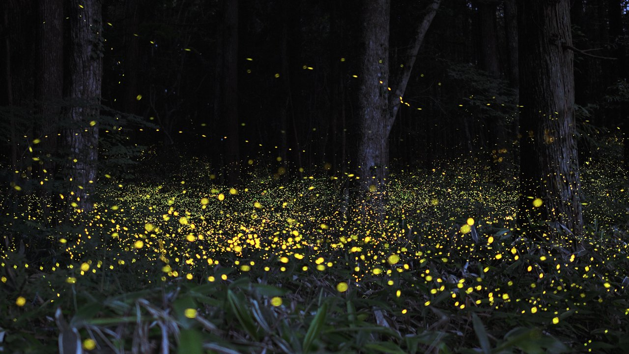 fireflies in india