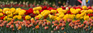 Tulip Festival in Jammu and Kashmir, India 2020: A Complete Guide with Dates and Entry Fees