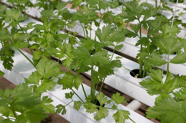 Coriander: Medicinal plants In India