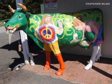 A peace cow at Ashgrove Tasmanian Farm, milking itself