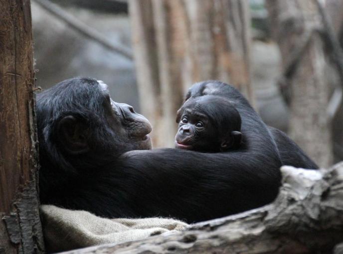 Bonoboweibchen_Yasa_mit_Sohn_Kasai__c__Zoo_Leipzig
