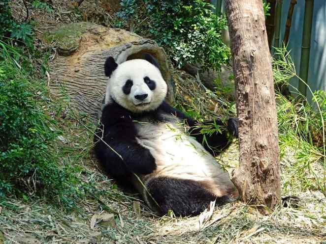 Giant Pandas are 6 Toes
