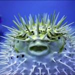 Blowfish or Pufferfish