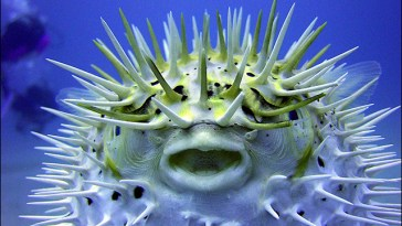 Blowfish or Pufferfish