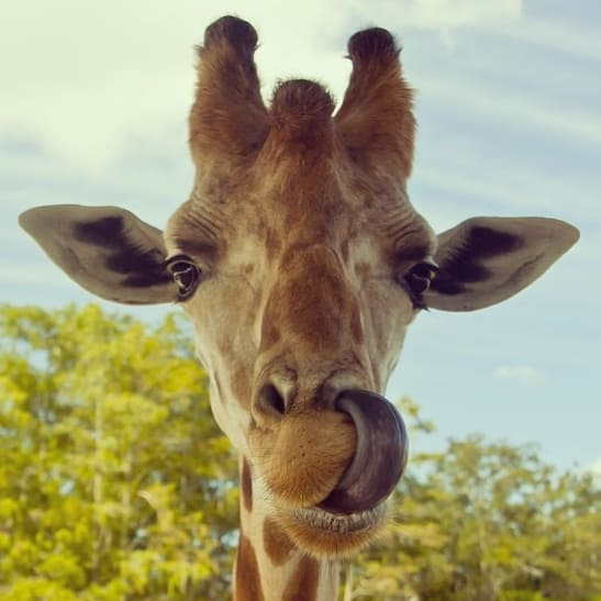 Giraffes have incredibly long and strong tongues