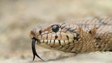 Snakes do not have eyelids