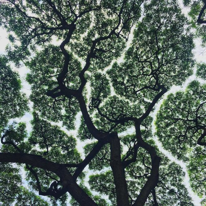 Crown Shyness where to see